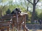 Is this mama panda ?