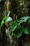 Arisaema (Araceae) Snake head
