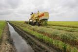 Rice harvesting, Sekinchan