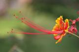 Caesalpinia pulcherrima (Peacock flower)