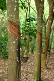 Hevea brasiliensis (Rubber plantation).jpg