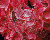 Hydrangea Red Wax