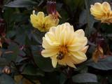 Original Yellow Bumble Bee