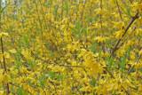 Yellow Belle Shrubs