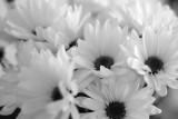Daisies - black & white