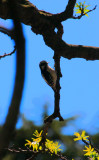 Woodpeckers, Various
