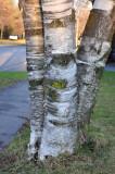 3 - White Birch
