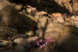Fallen Redbuds