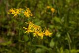 Woodland Sunflowers
