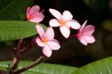 n6695 Pink Plumeria