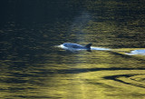 dolphin in the light copy.jpg