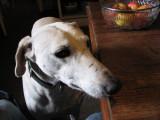 Fergal - Greyhound/Lab mix