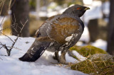 Wood Grouse (Capercaillie)
