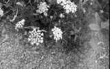 queen anne blooms