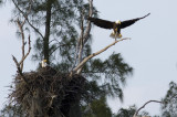eagles. one on the wing