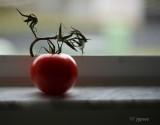 tomato on the window sill