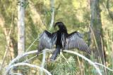 preening male anhinga