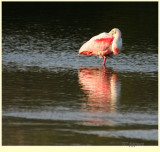 roseate spoonbill in breeding plumage
