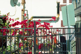 bougainvillea and fence