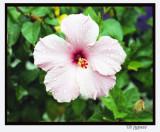 rainy day hibiscus