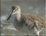 Eastern Shorebirds & Waders