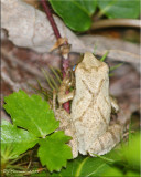 X Marks the Spring Peeper