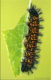 Caterpillars & Larvae