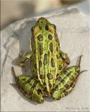 Northern Leopard Frog Dorsal