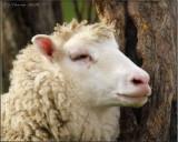 Sheepish Grin Part II