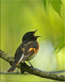 Singing American Redstart Male
