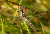 Teneral Common Whitetail ~ Plathemis lydia
