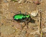 Six-Spotted Tiger Beetle ~ Cicindela sexgutta