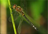 Racket-tailed Emerald ~ Dorocordulia libera