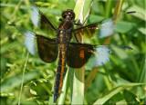 Widow Skimmer ~ Libellula luctuosa