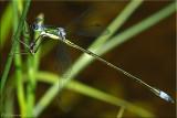 Elegant Spreadwing ~ Lestes inaequalis Male