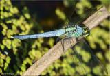 Erythemis simplicicollis - Eastern Pondhawk Male