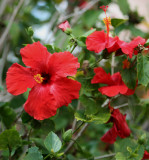 a beautiful Red Hibiscus !
