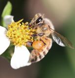 a wonderful worker Bee - beautiful creatures!