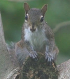 Mrs. Squirrel facing me down!