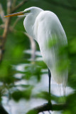 The Great White Egret at dusk after a hard day on the lake!