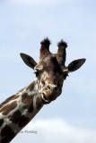Female giraffe [1]
