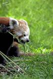 Red Panda Ailurus fulgens [1]