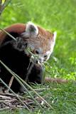 Red Panda Ailurus fulgens [2]
