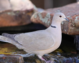 Eurasian Collared Dove (3876)