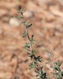 Little Leaf Mahogany #311 (6911)