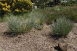 Blue Avena Grass #558 (8137)