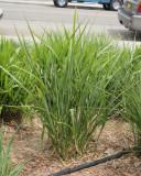 Porcupine Grass #561 (8877)