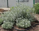 White Sagebrush 'Valerie Finis' #773 (8768)
