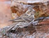 Female Cassin's Finch #8912