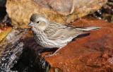 Female Cassin's Finch #0491